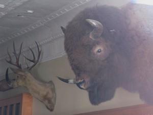 Clayton_bison